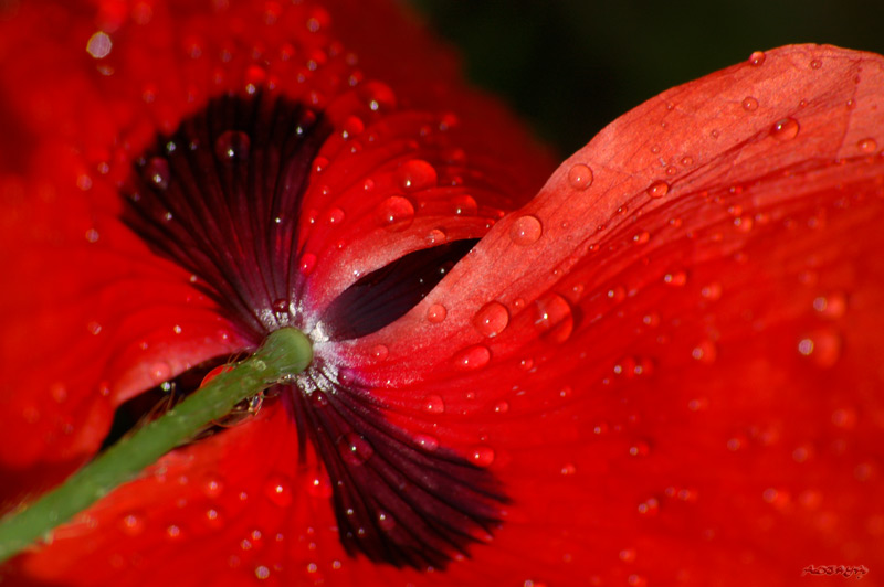 Pavot rouge ou coquelicot - photo macro