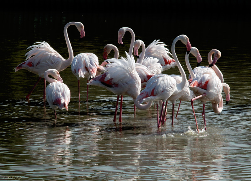 Flamand rose de Camargue_1769.jpg
